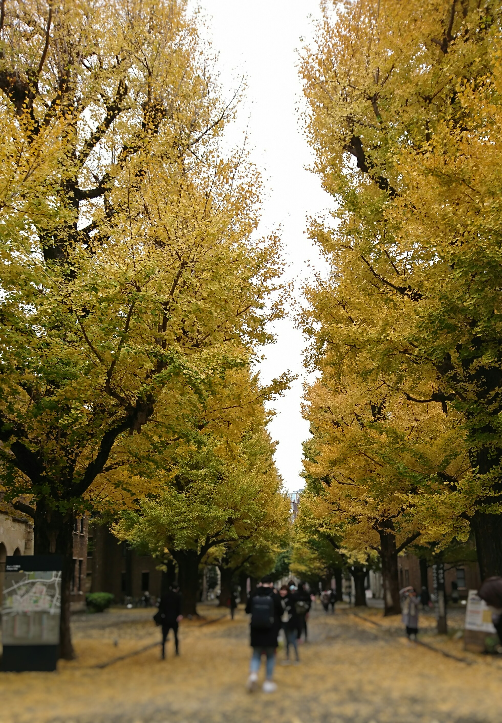 autumn foliage in the University of Tokyo