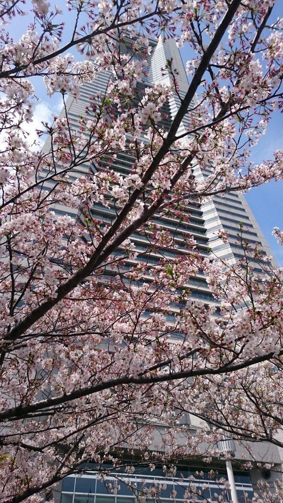 cherry blossoms_Landmark Tower