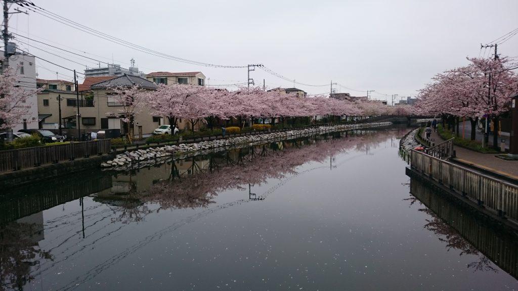 sakura in japan, edogawaku