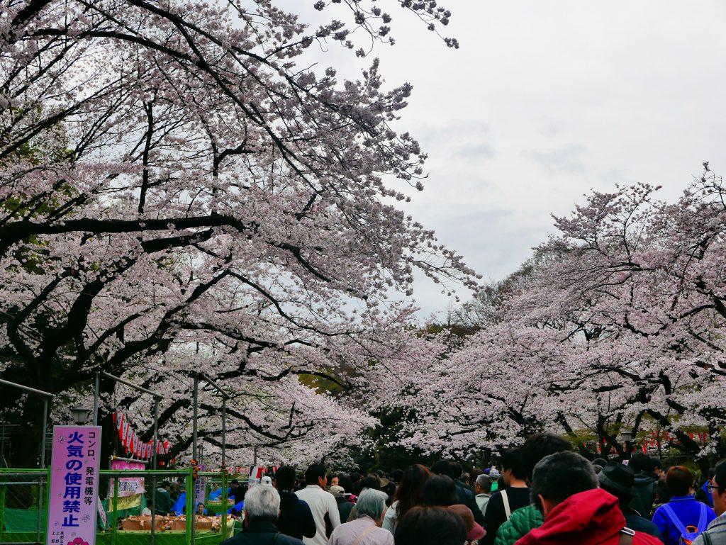 sakura in Ueno