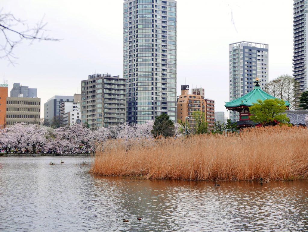 cherry blossoms by Shinobazunoike