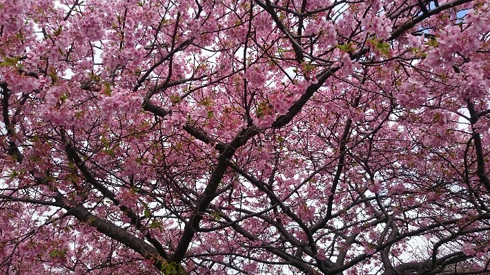 kawazu-sakura, a kind of Japanese cherry blossom