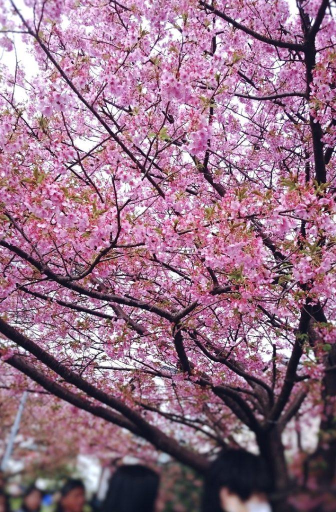 kawazu sakura and viewing people